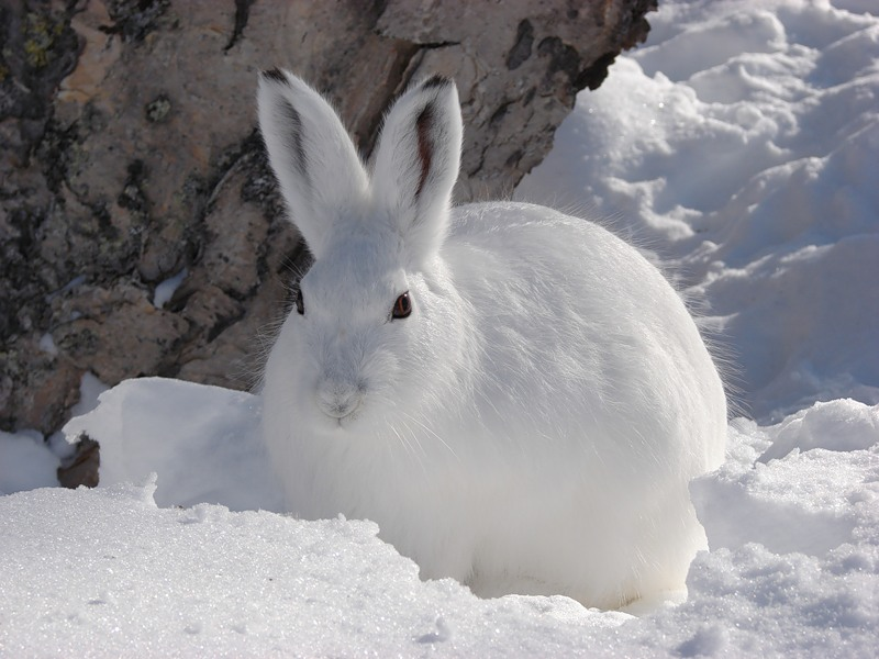 mountain_hare_05_800