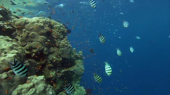 korallyi